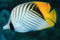 Threadfin butterflyfish Royalty Free Stock Image