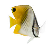 Threadfin Butterflyfish, Chaetodon auriga, isolated Stock Photography
