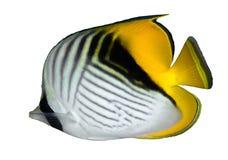 Threadfin butterflyfish Stock Photo