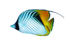Threadfin butterflyfish Royalty Free Stock Photo