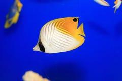 Threadfin butterflyfish Stock Photos