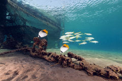 Threadfin butterflyfish (chaetodon auriga) in the Red Sea. Royalty Free Stock Images