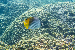 Threadfin Butterflyfish Royalty Free Stock Images