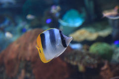 Threadfin butterflyfish, Chaetodon auriga Royalty Free Stock Photos