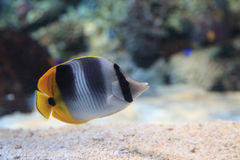 Threadfin butterflyfish, Chaetodon auriga. Is a yellow, white and black fish with a sharp, pointed mouth Stock Photo