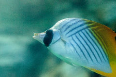 Threadfin butterflyfish, Chaetodon auriga. Is a yellow, white and black fish with a sharp, pointed mouth found on the marine reef Royalty Free Stock Image