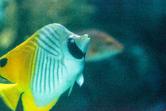 Threadfin butterflyfish, Chaetodon auriga. Is a yellow, white and black fish with a sharp, pointed mouth found on the marine reef Stock Images
