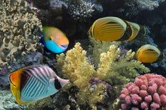 Threadfin butterflyfish i rafa koralowa, Czerwony morze Zdjęcie Royalty Free