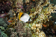 Threadfin butterflyfish and ocean Royalty Free Stock Photos