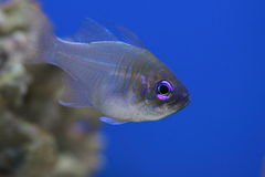Threadfin cardinalfish. The threadfin cardinalfish also known as bluestreak cardinalfish stock images
