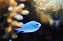Threadfin cardinalfish (Apogon leptacanthus). Scientific name is Apogon leptacanthus. Threadfin cardinalfish is brilliant bluefish in coral sea stock photos
