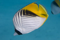 threadfin de butterflyfish Photos stock