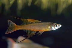 The threadfin rainbowfish Stock Photo