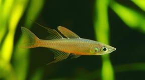 The threadfin rainbowfish Royalty Free Stock Photo