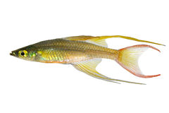Threadfin rainbowfish Iriatherina werneri featherfin rainbowfish tropical aquarium fish Stock Photos