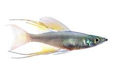 The threadfin rainbowfish Stock Photos