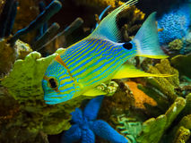 Threadfin snapper Royalty Free Stock Photography