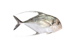 Threadfin Travelly - Alectis ciliaris Stock Images