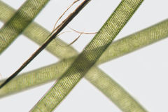 Threads freshwater Spirogyra. Order Zygnematales. Spiral chloroplasts Royalty Free Stock Photos