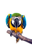 Threat. Blue and yellow Macaw - Ara ararauna, isolated of a white background Stock Photo