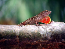 Threat display. Brown anole with threat display royalty free stock images