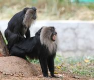 Threatened endemic indian ape- lion tailed macaque Royalty Free Stock Images