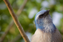 Threatened Florida Scrub-Jay Royalty Free Stock Photos