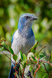 Threatened Florida Scrub-Jay Royalty Free Stock Photo