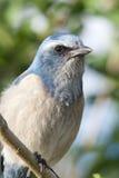 Threatened Florida Scrub-Jay stock photo