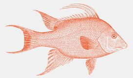 Free Threatened Hogfish From The Atlantic In Side View Stock Photography - 172407702