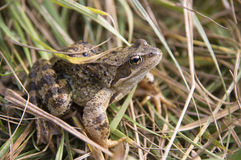 Threatened Spadefoot toad Stock Photo