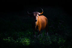 Threatened Species Full Adult Female Banteng Stock Image