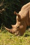 Threatened white rhinoceros grazing on fresh grass Stock Photos