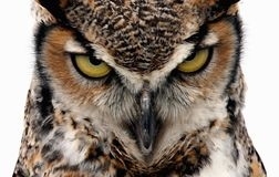Threatening. Eagle Owl staring at the camera in a threatening manner. Isolated on white stock photo