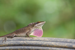 Threatening brown anole. A close up of a brown anole fanning his dewlap Royalty Free Stock Image