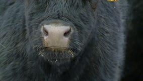 A threatening bull looks severely stock video