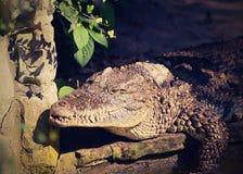 A threatening-looking crocodile stock photos