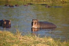 Threatening male Hippopotamus, Hippopotamus amphibius,Okavango, Botswana Royalty Free Stock Image