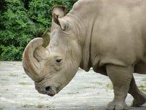 Threatening rhinoceros Royalty Free Stock Image