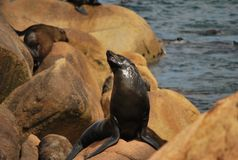 Threatening Sea Lion. Showing off itself while i was taking close pictures of its colony Royalty Free Stock Image