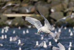 Threatening seagull Stock Image