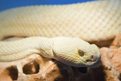 Threatening snake. Yellow snake with threatening look Stock Photography