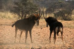 Threating sable antelopes Stock Photos