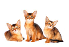Three abyssinian kittens portrait Royalty Free Stock Images