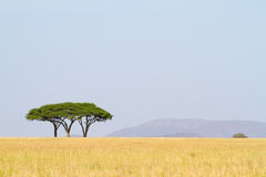 Three acacia trees Stock Image