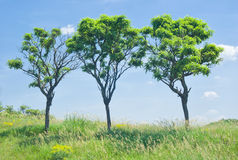 Three acacias on the hill Royalty Free Stock Photography