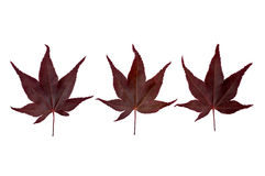 Three Acer leaves Royalty Free Stock Photos