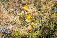 Three acer platanoides Norway maple leafs with yellow autmn color flies free from the tree stock photos