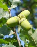 Three acorns. Stock Image