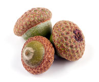 Three acorns Stock Image